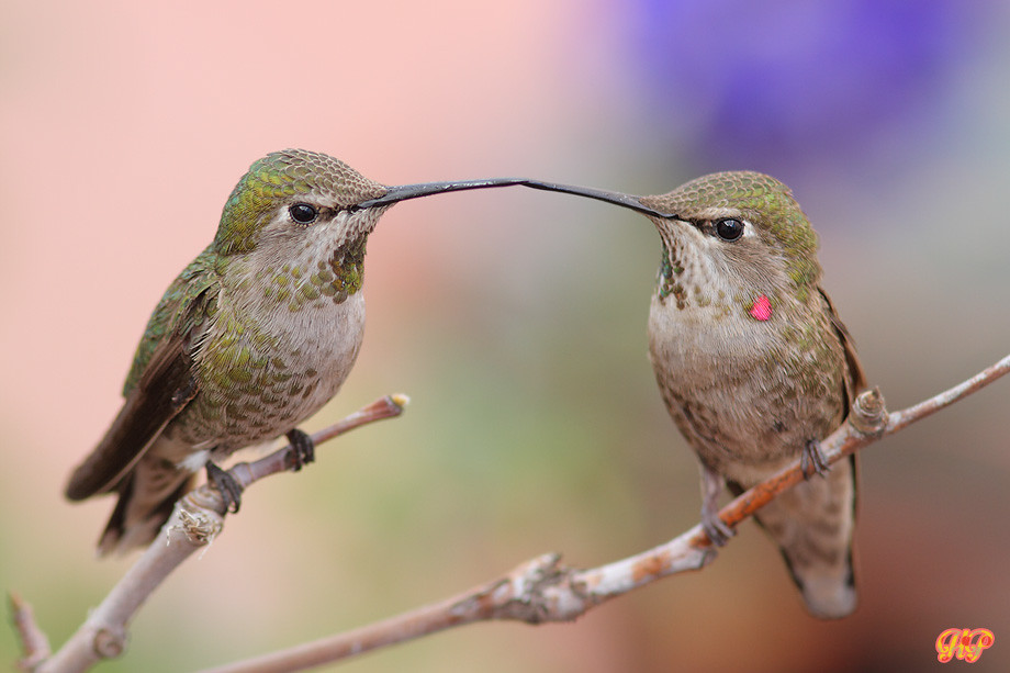 Kisses  Anna's Hummingbird 040214