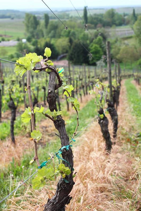 Viiniköynnös, Itterswiller, Alsace