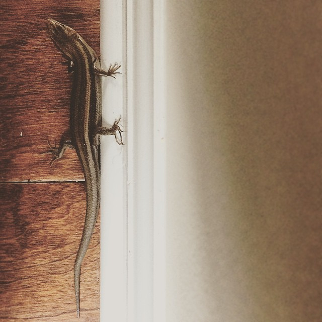 OMG There is a #lizard in my house. Today is officially the #bestdayever!!!! #lizards #lizardsofinstagram #reptiles #igersga #igersatl #igersatlanta #igersgeorgia #lizardgram #wildlife #nature #georgia #northgeorgia #cummingGA #johnscreek #crazygeorgializ