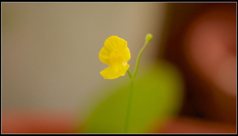 黃花狸藻-P1120806 (1)