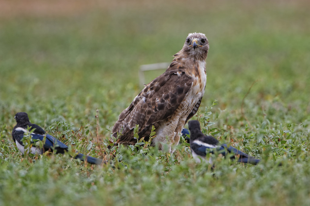 Red Tailed Hawk Eats Dog Red Tail Hawk Eats Prairie