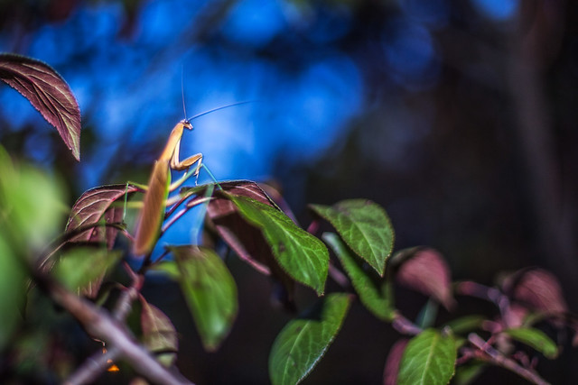 Praying Mantis (2)