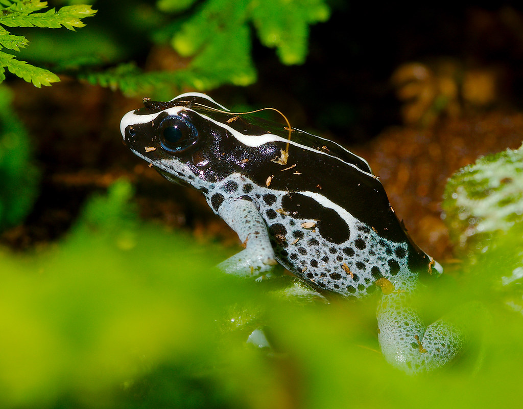 Poison Frogs_4_1