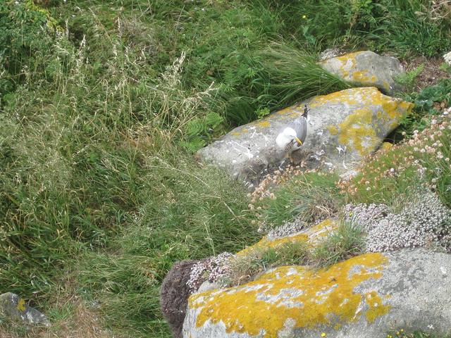 Gaviota y polluelos en las Islas Cíes