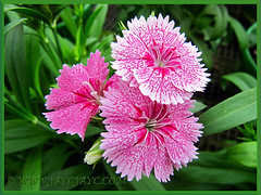 Gorgeous variegated patterns of Dianthus barbatus (Carnation, Pink, Sweet William), Nov 3 2013