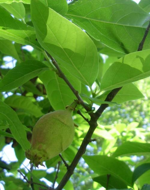 Chimonanthus praecox 18835384516_264e0da3ef_o