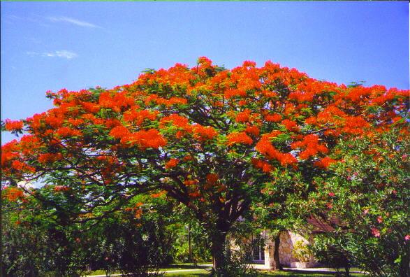 gulmohar_tree