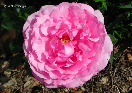 Rosa 'Yves Piaget'