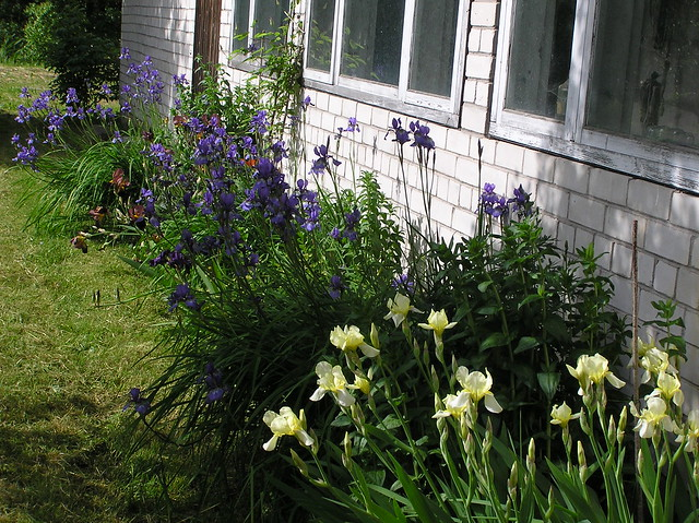 Garden border with blooming irises