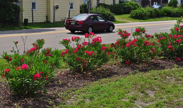 Nerium oleander (1)