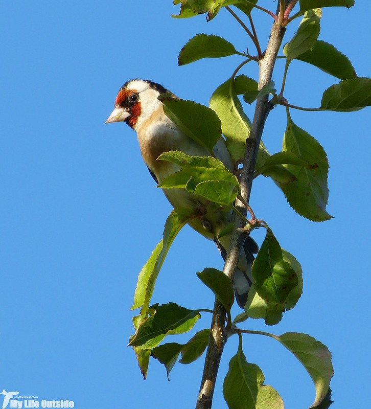 P1130311 - Goldfinch