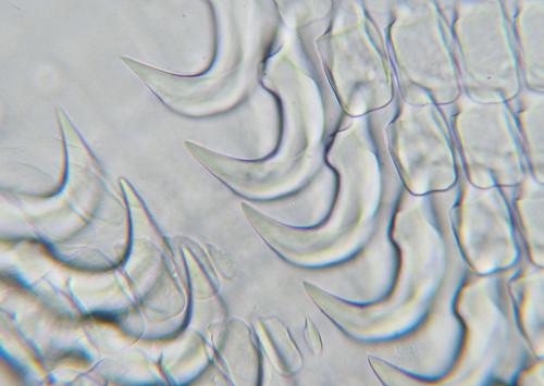 Sea slug scythes