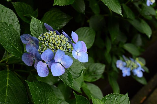 東慶寺の紫陽花 DSC_2912