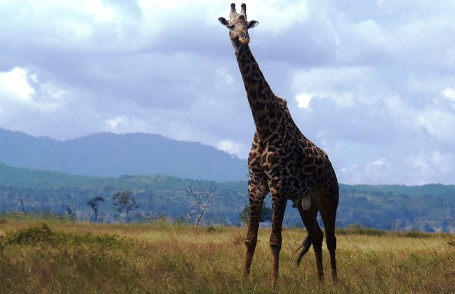 A male Giraffe standing alone on the Mikumi plains