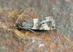 49.183 Smoky-barred Marble - Lobesia abscisana