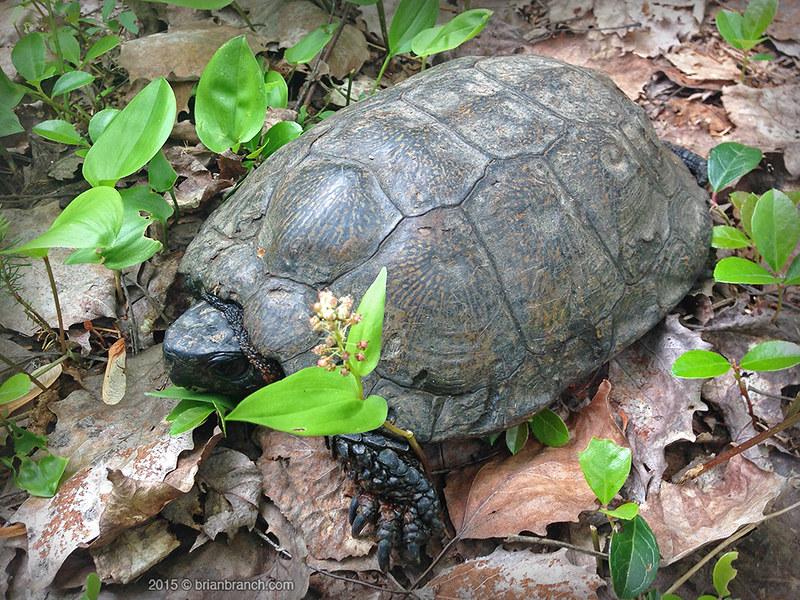 IMG_7804_wood_turtle_1000