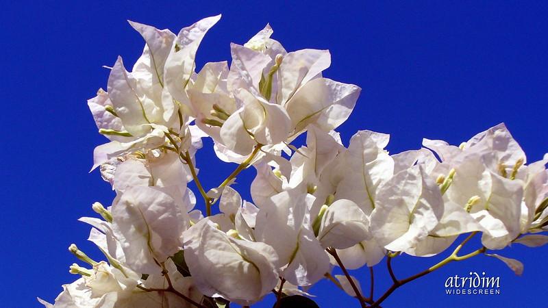 Arizona White Bougainvillea Brilliance