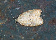 49.062 Maple Button - Acleris forsskaleana