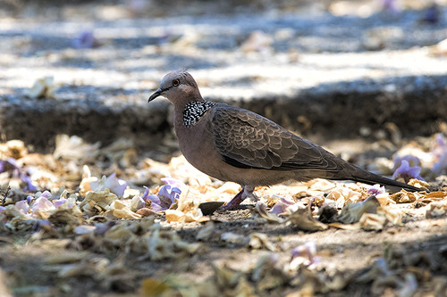 Catalina Island: Spotted Dove