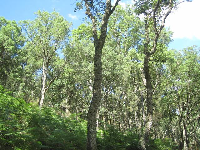 Alcornoques o Sobreiras en el PR-G 93 Ruta da Ribeira do Ulla
