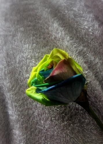 IMG 9964 Rose Yes!