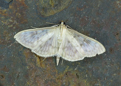 63.038 Mother of Pearl - Pleuroptya ruralis