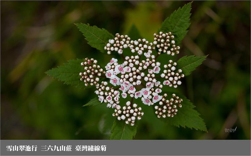 雪山翠池行_三六九山莊_臺灣繡線菊