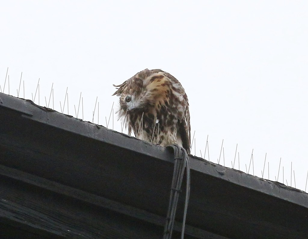 Fledgling #1 uses bird spikes to scratch its head