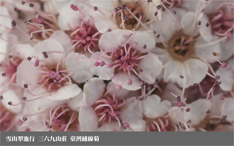 雪山翠池行__三六九山莊_臺灣繡線菊7