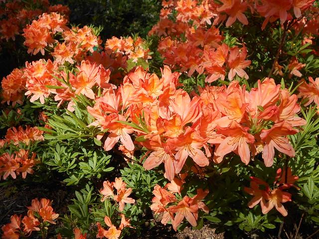 Atsalealajikkeen (Rhododendron cv.) kukintaa 12.6.2015 Meilahden arboretum Helsinki