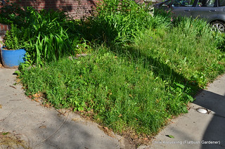 The Front Garden, before de-lawning, June 2014