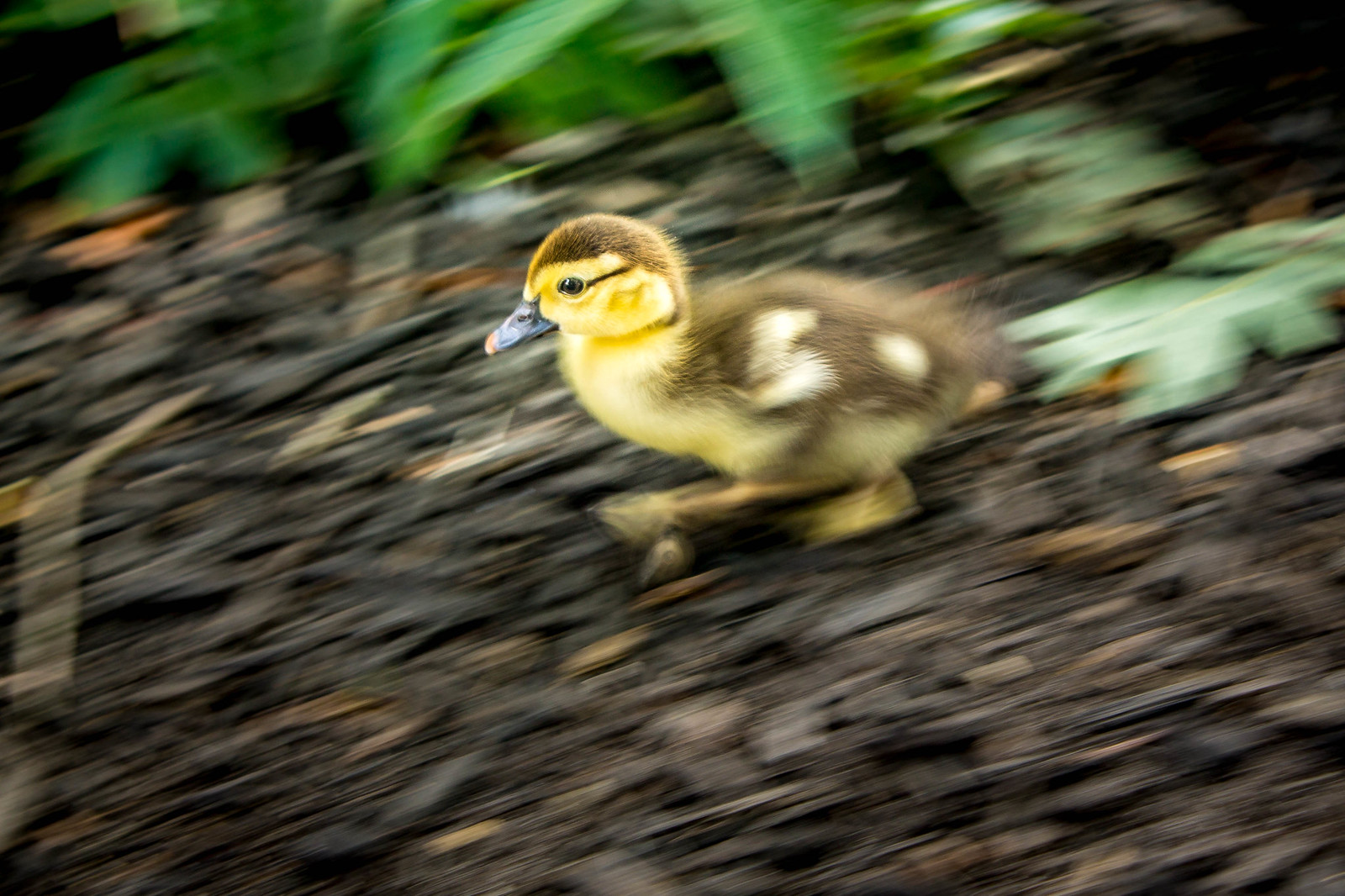 Speedy Duck!