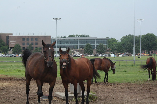 A couple of the horses on campus