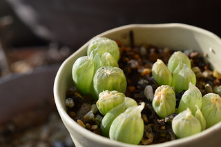 Bulbine mesembryanthoides ブルビネ メセンブリアントイデス 玉翡翠