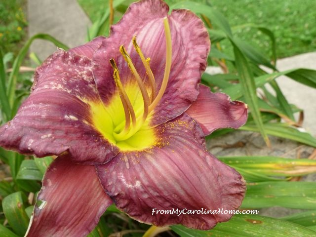 Day Lily June 2015 purple