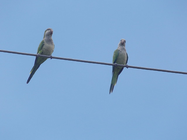 Florida's Invaders: The Monk Parakeet