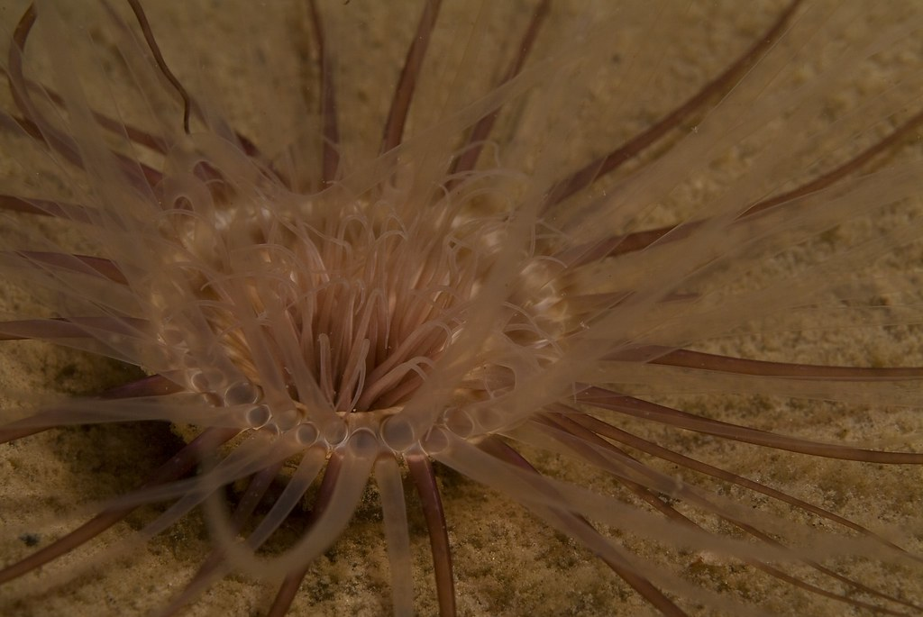 Close-up of a tube anemone in soft mud