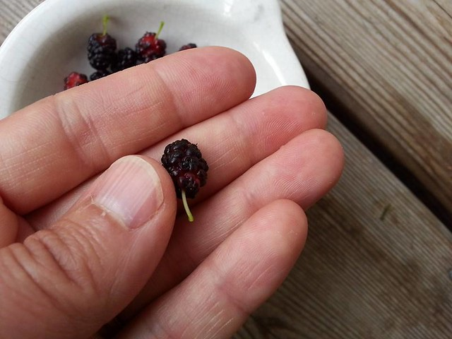 Mulberry off our tree by Eve Fox, the Garden of Eating, copyright 2015