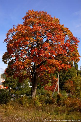 höstlöv, höst, löv, träd, höstfärger, autumn, leaf, leaves, tree, colors, colours