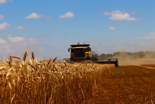 In the wheat.