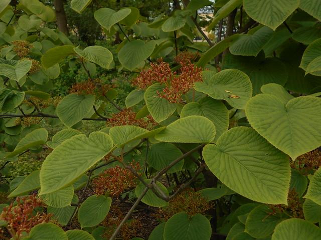 Siimesheisin (Viburnum furcatum) marjaraakilevaiheen alkua 6.6.2015 Kaisaniemen kasvitieteellinen puutarha Helsinki