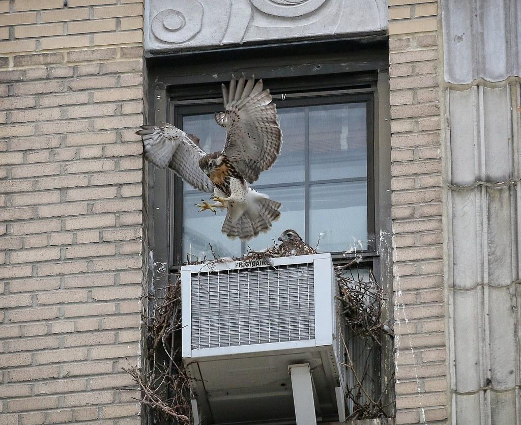 Bouncing baby hawk