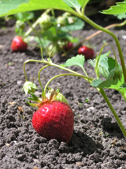 First strawberries