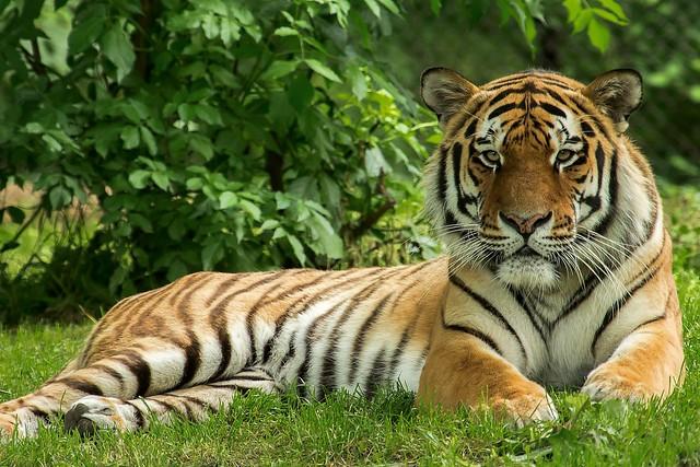 Tiger Jegor