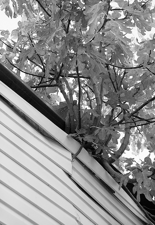 _fig_through_the_roof_bw_