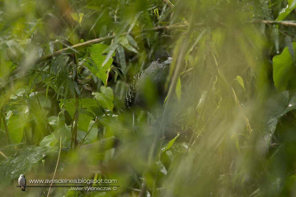 Batará gigante (Giant-Antshrike) Batara cinerea