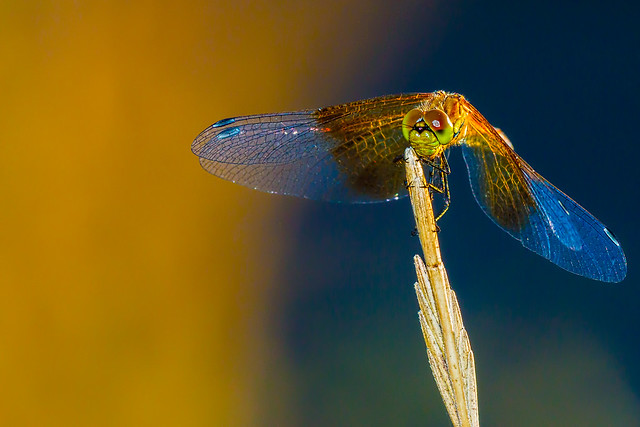 Band-Winged Meadowhawk Warmed By The Fire