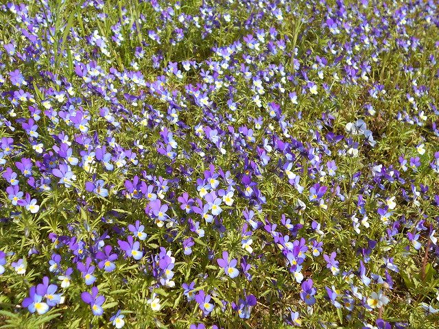 Keto-orvokin (Viola tricolor) kukintaa 12.6.2015 Meilahden arboretum Helsinki