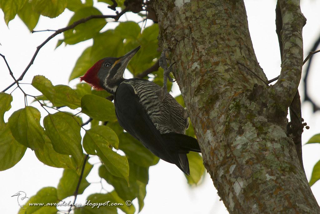 Carpintero garganta estriada (Lineated Woodpecker) Dryocopus lineatus