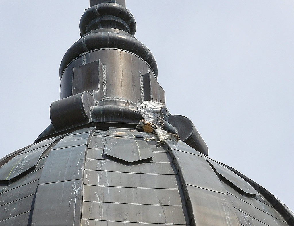 Baby hawk slides around on dome of Most Holy Redeemer church